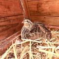 quail nesting