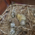 4 quail eggs, one looking hardboiled and a yellow quail chick.