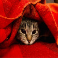 cat peeking from towel