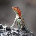 Galápagos lizard