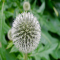 round seed head